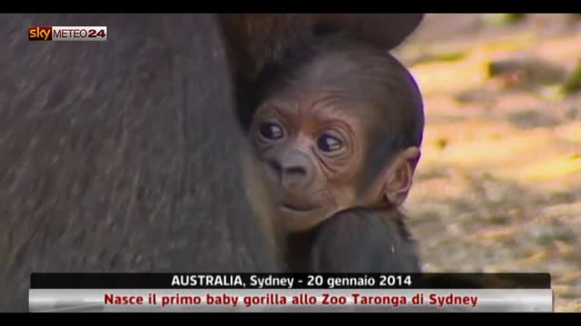 Nasce il primo baby gorilla allo Zoo Taronga di Sydney