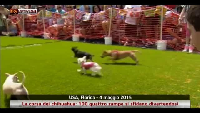 USA, la corsa dei chihuahua: 100 quattro zampe si sfidano