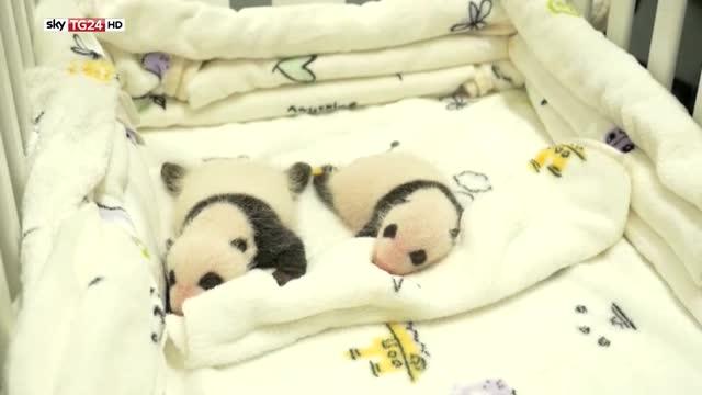 Vita da panda a Macao