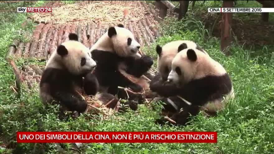 Il panda non è più a rischio estinzione: video