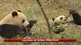 Cina, la diplomazia dei panda. 2 cuccioli a Taiwan