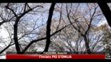 Giappone, ciliegi in piena fioritura anche a Fukushima
