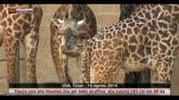 16/08/2014 - Texas, fiocco rosa allo Houston Zoo per una giraffina