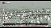 Cina, gabbiani su lago Bostan durante migrazione verso sud