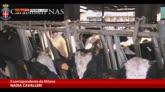31/10/2014 - Controlli negli allevamenti: sequestro antibiotici illeciti
