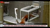 28/01/2015 - NY, i panda rossi originari dell'Himalaya giocano nella neve