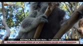 Cuccioli di koala al parco Australian Reptile