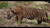 28/04/2016 - Usa, i giochi dei cuccioli di tigre nello zoo di San Diego
