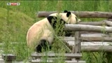 22/06/2016 - Panda al fresco in Cina: il video