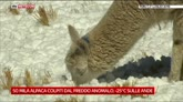 21/07/2016 - Emergenza gelo sulle Ande, colpiti 50mila alpaca