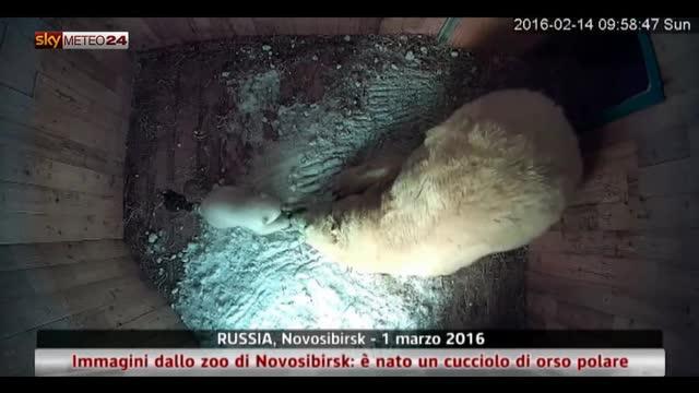 Russia, nato un cucciolo di orso polare: le immagini