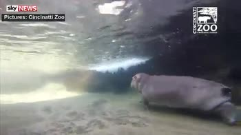 Fiona the baby hippo makes media debut