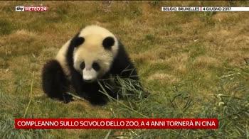 Baby panda allo zoo di Bruxelles