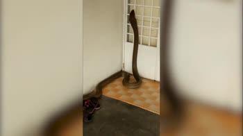 Cobra gigante dentro casa