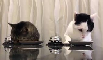Gatti che ordinano il pranzo