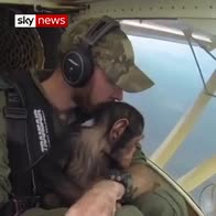 Rescued chimp flown to new home
