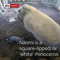 Baby white rhino born in zoo