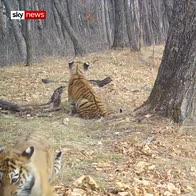 Rare footage of Siberian tiger cubs in wild