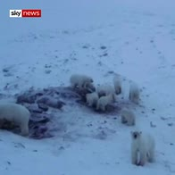 Hungry Polar bears descend on Russian village