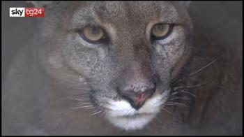 Cile Puma lockdown entra in casa