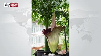 Belgio, sboccia il fiore più grande del mondo