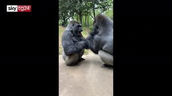Gorilla giocano allo zoo di Atlanta