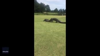 Usa, due alligatori lottano in un campo di golf