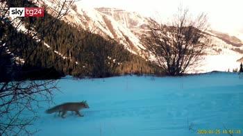 Kazakistan, avvistato leopardo delle nevi