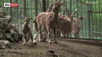 Boom di nascite in lockdown per zoo siberiano