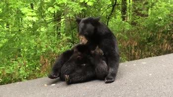 Usa, orsa allatta i cuccioli in mezzo a una strada. VIDEO