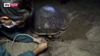 Tartarughe depongono uova sulla spiaggia in Thailandia