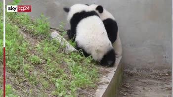 Cina, panda gemelli si sfidano