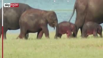 Sri Lanka, trovati rari esemplari di elefanti gemelli