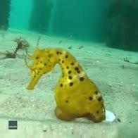 Sommozzatore si fa un selfie con un cavalluccio marino