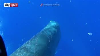 Capodoglio intrappolato in una rete da pesca nel Mediterraneo