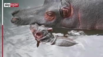 Messico, baby ippopotamo neonato allo zoo