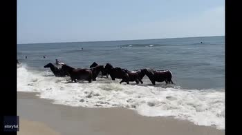 Un branco di cavalli selvatici si rinfresca in riva al mare