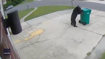 Un orso educato sposta il bidone prima di rovistarci dentro