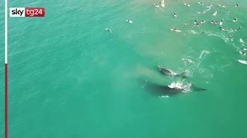 Australia, mamma e figlio balena nuotano insieme a surfisti
