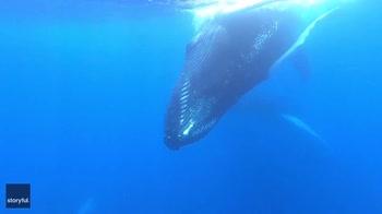 Nuotatore incontra megattere durante un'immersione