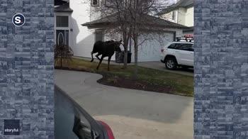 Un alce corre per un quartiere residenziale negli USA