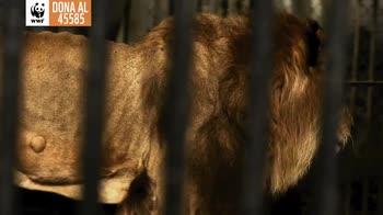 Sos Leoni, il progetto del Wwf per i grandi felini. VIDEO