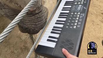 Rinoceronte suona un pianoforte per il suo compleanno. VIDE