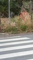 Roma, cinghiale avvistato in via della Camilluccia. VIDEO