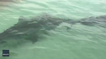 Florida, bagnanti vengono circondati da squali. VIDEO