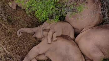 Il riposo degli Elefanti durante la migrazione in Cina