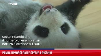 Panda rimossi dalle specie a rischio