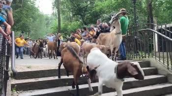 New York, le capre usate contro le erbacce. VIDEO