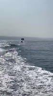 I salti dei delfini che inseguono una barca in California