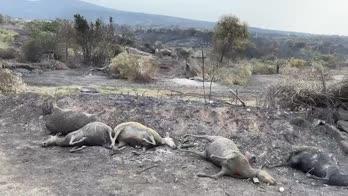 Roghi Sardegna, ettari in fumo e capi di bestiame morti
